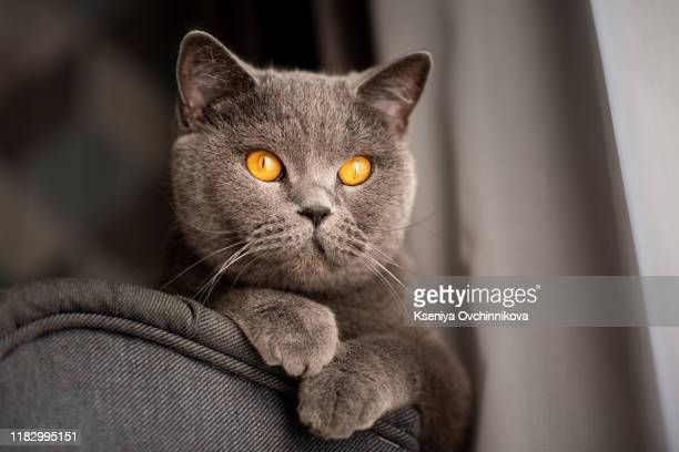british shorthair cat lying on white table. copy-space - purebred cat stock pictures, royalty-free photos & images