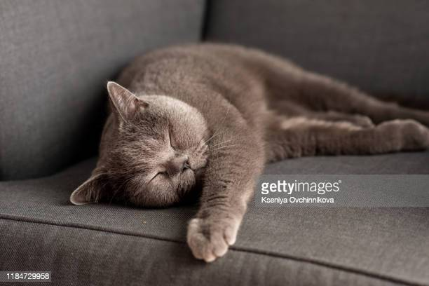 british shorthair cat lying on white table. copy-space - cats stock pictures, royalty-free photos & images