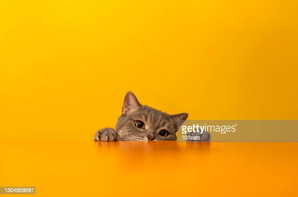 british shorthair cat on yellow background - british shorthair cat stock pictures, royalty-free photos & images
