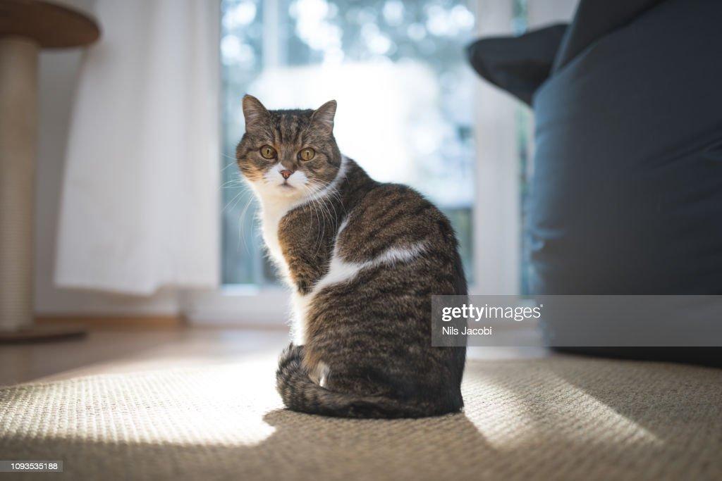 british shorthair cat : Stock Photo