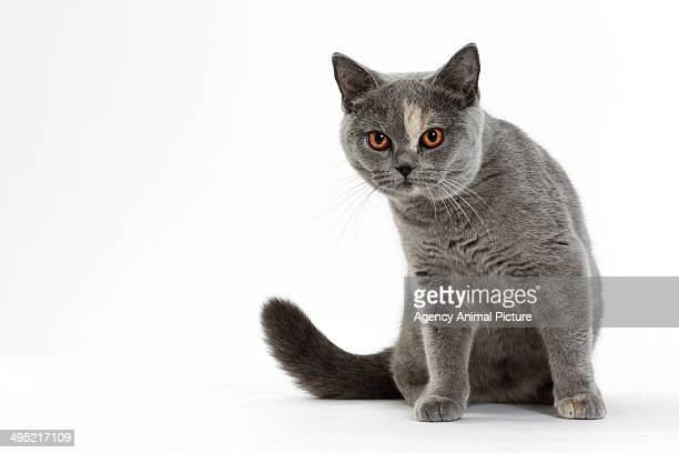 british shorthair cat - british shorthair cat stock pictures, royalty-free photos & images