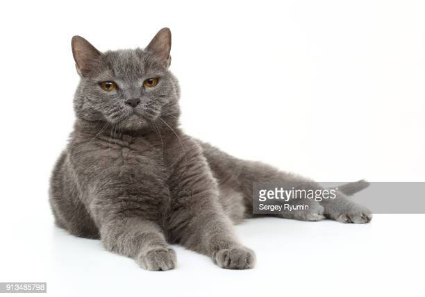 british shorthair cat - purebred cat stock pictures, royalty-free photos & images