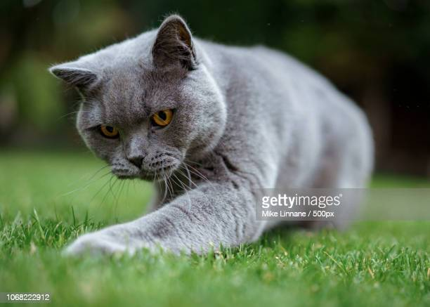 british shorthair cat playing in grass - british shorthair cat stock pictures, royalty-free photos & images