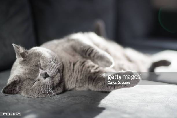 british shorthair cat relaxes lying down sideways on a grey couch with her eyes closed - cats stock pictures, royalty-free photos & images
