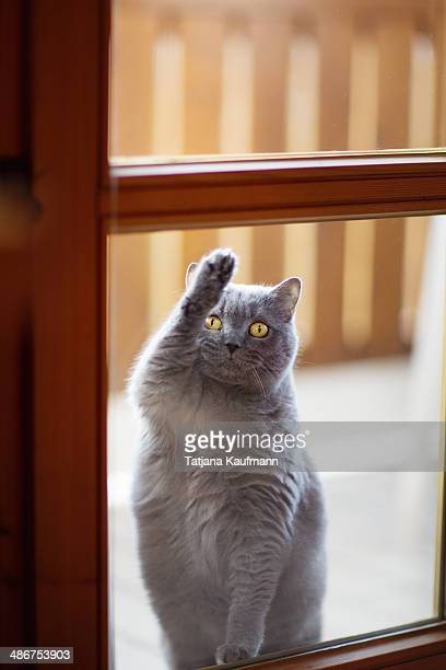 British Shorthair Cat scratching on the Window