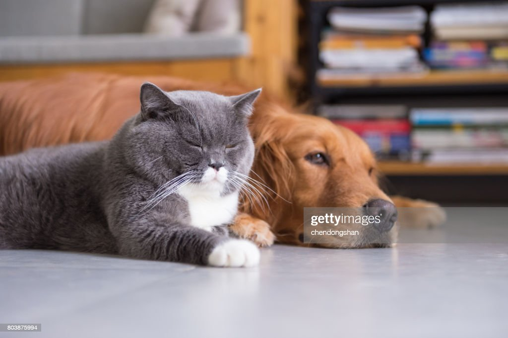 British Shorthair Cats And Golden Retriever Stock Photo - Getty Images