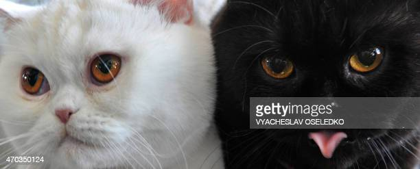 British Shorthair cats look on during a cat exhibition in Bishkek on April 19, 2015. Cat lovers from Kyrgyzstan, Kazakhstan and Uzbekistan took part...