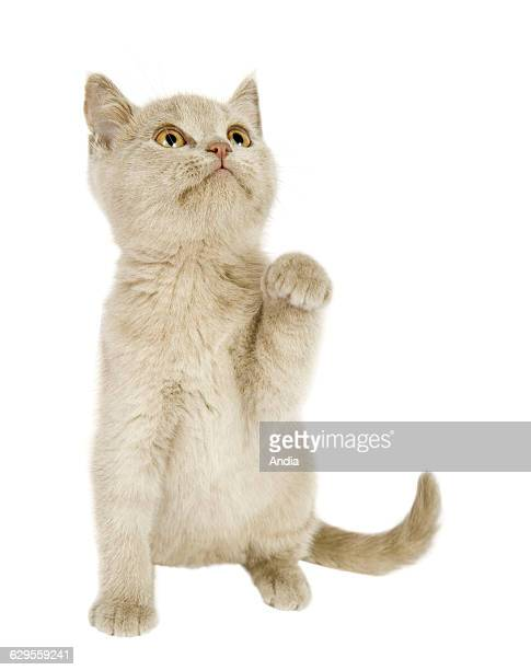 British Shorthair kitten in a photo studio, photo that can be cut out. Seated, full-face, raising one paw.