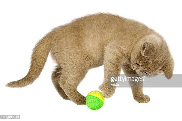 British Shorthair kitten in a photo studio, photo that can be cut out. Here, playing with a ball.
