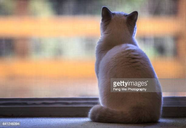 British Shorthair Kitten Looking At The World Outside