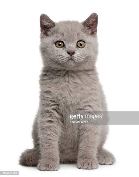british shorthair kitten - 一匹 ストックフォトと画像