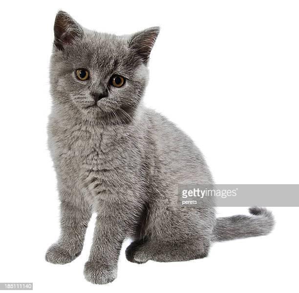 英国ショートヘア種の猫 - 一匹 ストックフォトと画像