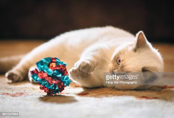 British Shorthair Kitten Playing Crinkle Ball