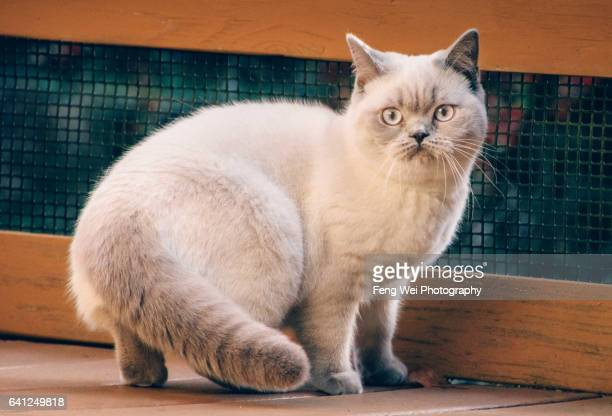 British Shorthair Lilac Colorpoint Cat Wondering Outdoor