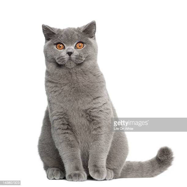 british shorthair (5 months old) - domestic animals stock photos and pictures