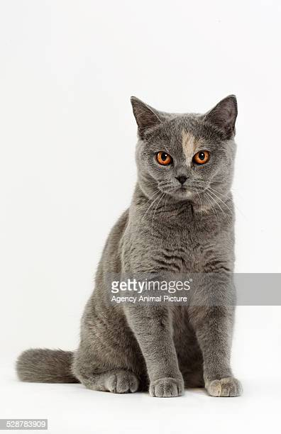british shorthair - purebred cat stock pictures, royalty-free photos & images
