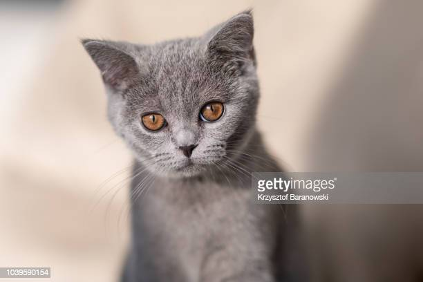 british shorthair portrait - british shorthair cat stock pictures, royalty-free photos & images