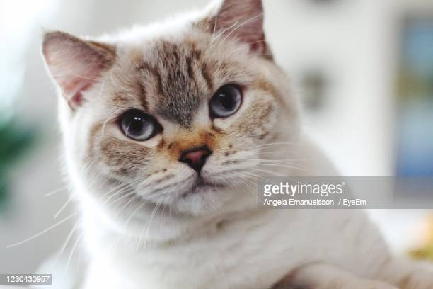 british shorthaired cat - british shorthair cat stock pictures, royalty-free photos & images