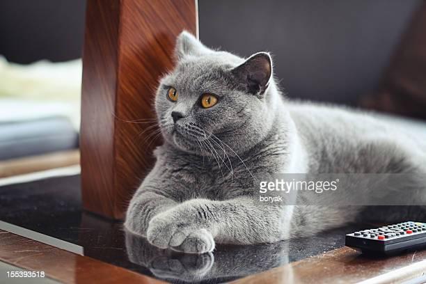 British Shrothair gato