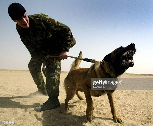 British soldier Corporal Ward from the Royal Army Veterinary Corps undergoes training with attack dog Khan a German Shepherd March 5 2003 near Kuwait...
