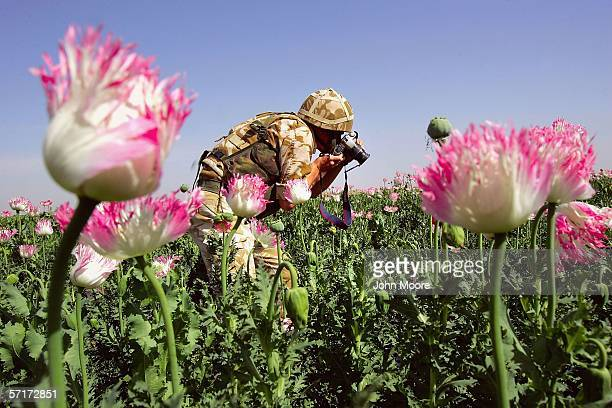 British soldier photographs opium poppies on March 24, 2006 near Lashkar Gah in the Helmand province of southern Afghanistan. An advance team from...