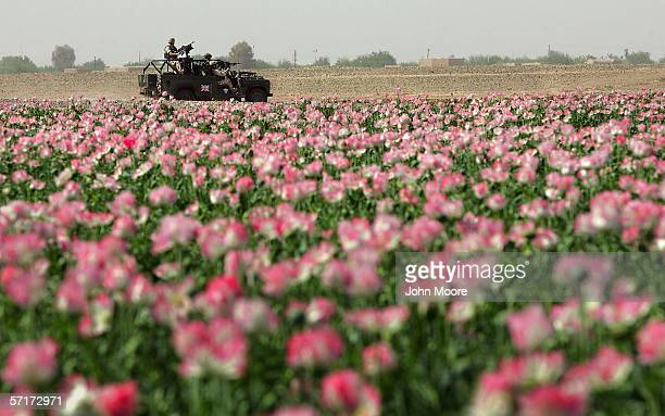 British soldiers drive past a field of heroin poppies on March 24, 2006 near Lashkar Gah in Helmand province of southern Afghanistan. An advance team...