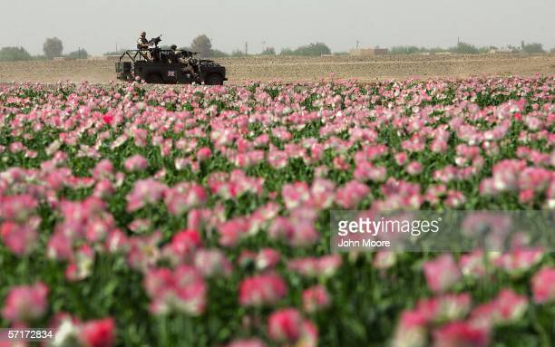 British soldiers drive past a field of poppies on March 24, 2006 near Lashkar Gah in Helmand province of southern Afghanistan. An advance team from...