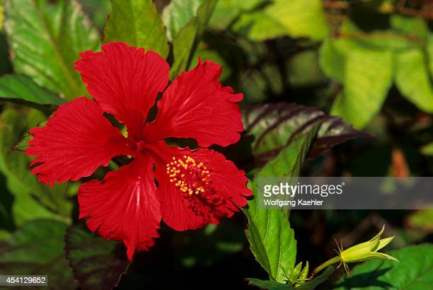 British Virgin Island Tortola Island Roadtown Hibiscus
