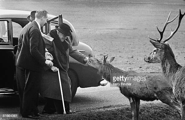 British wartime prime minister Winston Churchill feeds the deer in Richmond Park, accompanied by his private secretary Anthony Montague Brown and...