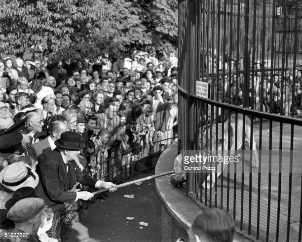 British wartime prime minister Winston Churchill uses a long pole to feed Rota the lion during a visit to London Zoo 10th September 1947 Rota was...