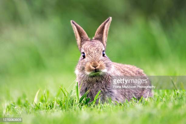 british wild rabbit eating short grass - animals in the wild stock pictures, royalty-free photos & images