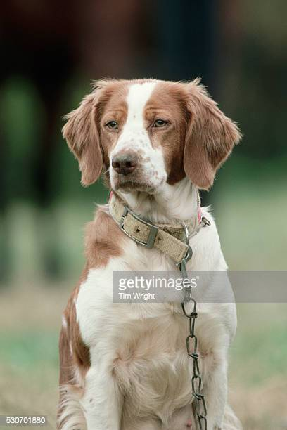 brittany bird dog - brittany spaniel stock pictures, royalty-free photos & images