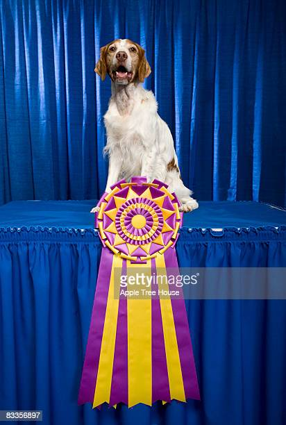 brittany dog with large, championship ribbon - brittany spaniel stock pictures, royalty-free photos & images