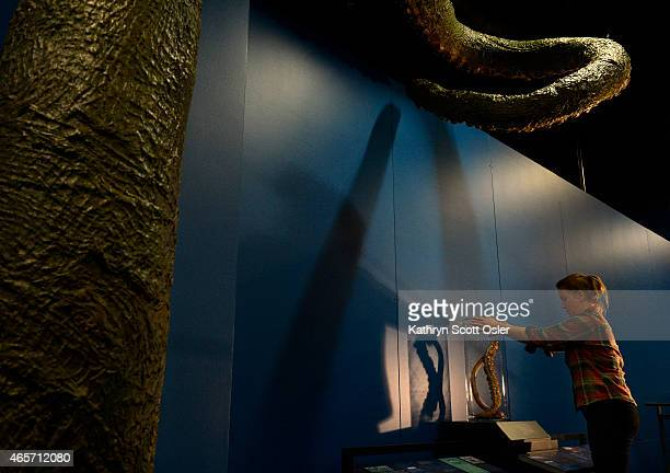 Brittany Janaszak from the American Museum of Natural History in New York places a model of a twometer section of a tentacle from a giant squid into...