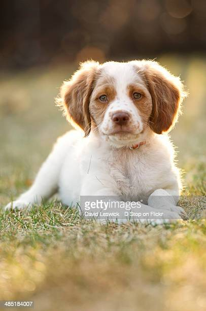 brittany - brittany spaniel stock pictures, royalty-free photos & images