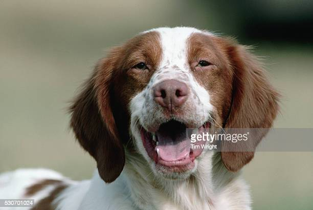 brittany spaniel after competition - brittany spaniel stock pictures, royalty-free photos & images