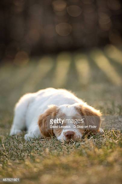 brittany spaniel at rest in the evening - brittany spaniel stock pictures, royalty-free photos & images