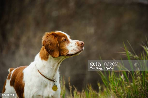brittany spaniel by plants - brittany spaniel stock pictures, royalty-free photos & images