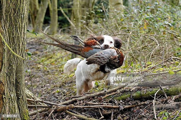 brittany spaniel carrying dead pheasant in forest - hunting dog stock pictures, royalty-free photos & images