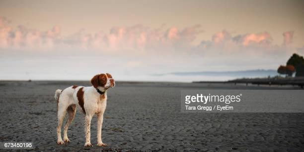 brittany spaniel on shore at beach against sky - brittany spaniel stock pictures, royalty-free photos & images