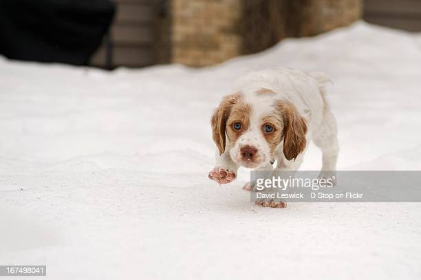 brittany spaniel puppy in the snow - brittany spaniel stock pictures, royalty-free photos & images