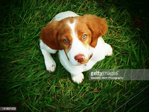 brittany spaniel puppy - brittany spaniel stock pictures, royalty-free photos & images