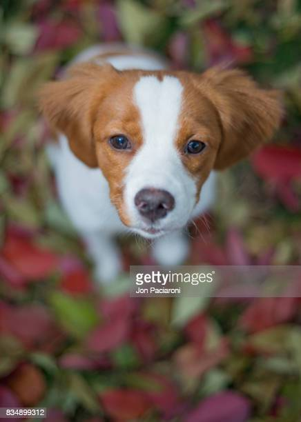 brittany spaniel puppy sitting in leaves - brittany spaniel stock pictures, royalty-free photos & images