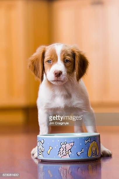 brittany spaniel puppy with food bowl - brittany spaniel stock pictures, royalty-free photos & images