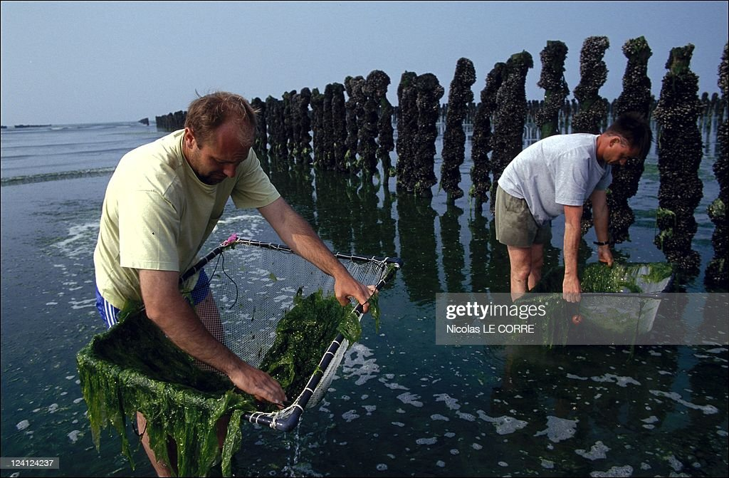 Brittany: The Algaes In France In July, 1993. : News Photo
