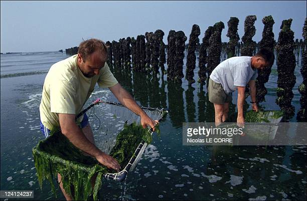 Brittany the algaes In France In July 1993 Ceva Study on the green tidewater Serge le Bozec Joel Charrier