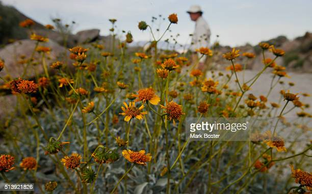 Brittle bush blooms paint the scenery with color in the Glorietta Canyon area of AnzaBorrego Desert State Park It doesn't matter if there is a 'super...