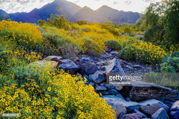 Brittlebush in the light of the rising sun