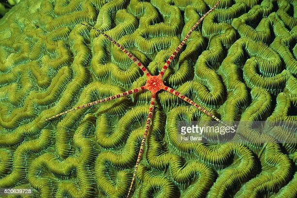 brittlestar on brain coral - brain coral foto e immagini stock