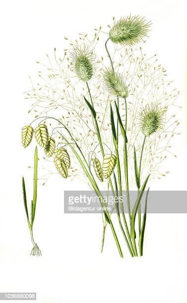 Brixa maxima Quaking grass Lagurus ovatus Hare's Tail Grass Aira Pulchella Hair Grass big quaking grass great quaking grass greater quakinggrass...